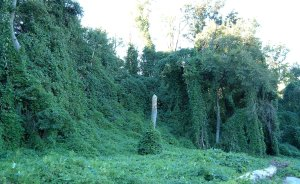 Kudzu on trees in Atlanta