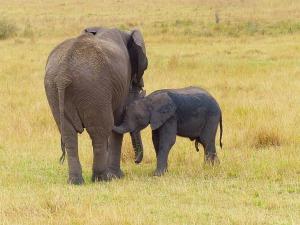 elephant-830782_1280