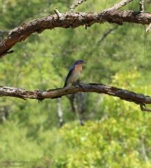 Bluebird CHW-1