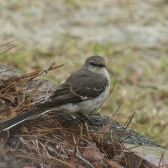 Mockingbird frontal CHW-1