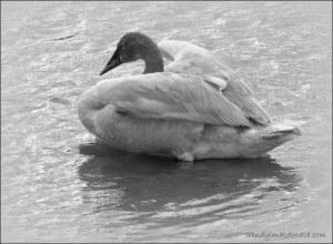 Wendy's Swan 2