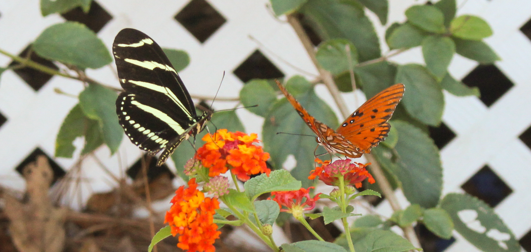 Butterfly couple